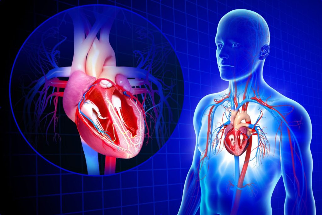 Zoom on the cardiovascular system